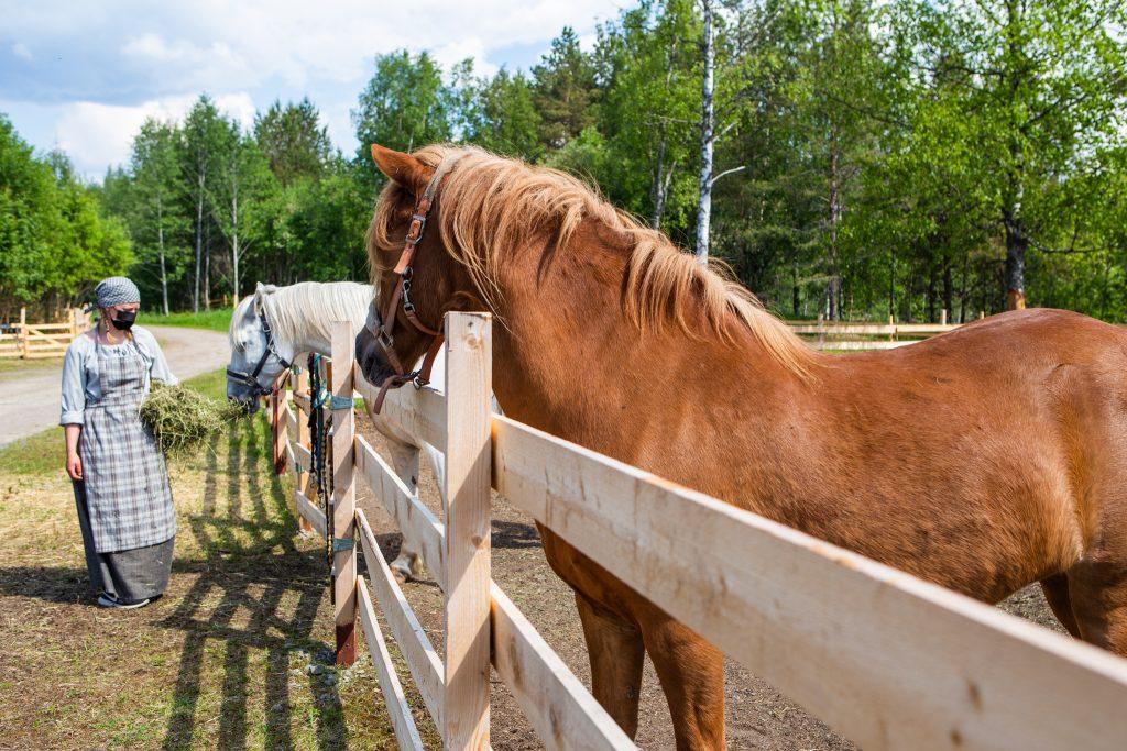 Nainen syöttää hevosia